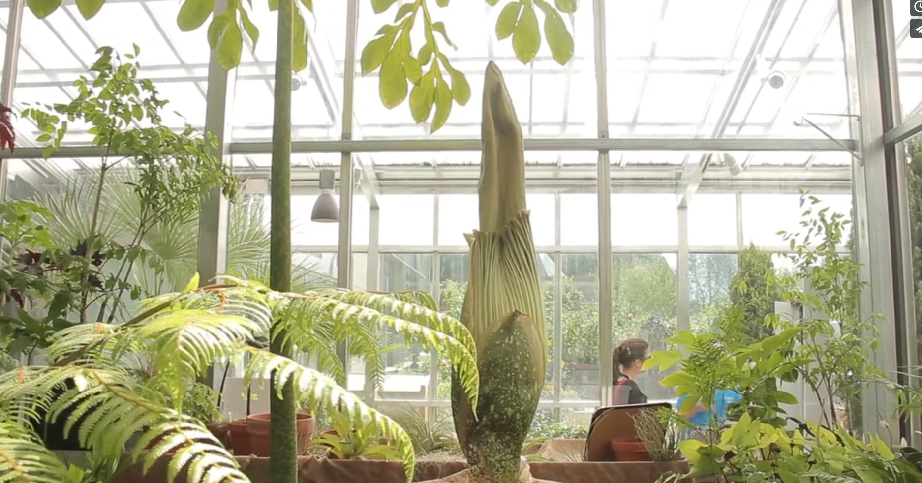 Smelly Corpse Flower Draws Crowds at the Denver Botanic Gardens