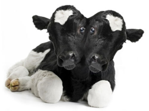 A two-headed calf and two degrees of separation.