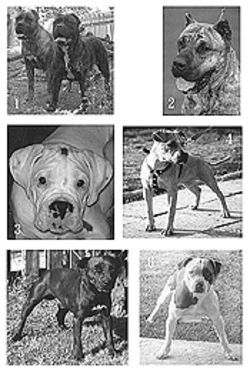 Will the real pit bull please stand up? Test your breed  knowledge and pick the American Pit Bull Terrier from  the look-alikes.    Answers: 1. Cane Corso 2. Presa Canario 3. Boxer 4.  American Pit Bull Terrier 5. Patterdale Terrier 6.  Alapaha blue blood bulldog