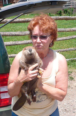 Sherri Tippie has found new homes for hundreds of beaver threatened by Front Range development, including this refugee from Aurora.