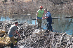 Tippie and wildlife ecologist Ashley DeLaup inspect a beaver dam on Bear Creek in southwest Denver.