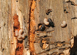 Larvae and adult beetles at work. Slide show: Meet the beetles: How Colorado's forests are bugging out