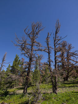 Beetle-killed pines on Niwot Ridge. Slide show: Meet the beetles: How Colorado&#039;s forests are bugging out