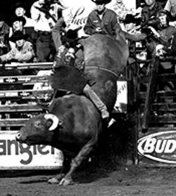 The buckin' stops here: Bullrider Chris Shivers tries  hard to hang on.
