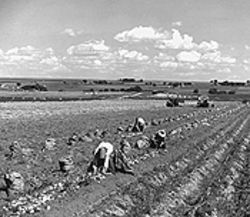 Laborers picking potatoes at a Longmont farm in 1966.