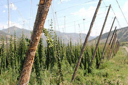 Hop bines can grow to thirty feet high and are harvested by mechanically separating the cones from the leaves and stems.