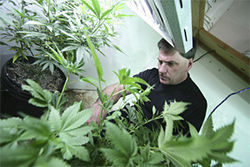 Michael Lee tends to his latest crop of medical marijuana.