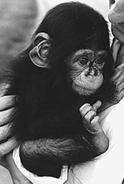 Monkey time: Pickles, Suzette Blair's chimp-to-be.