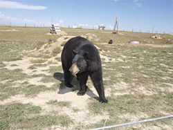 Home on the range: The Wild Animal Sanctuary hosts dozens of black and grizzly bears as well as big cats and wolves