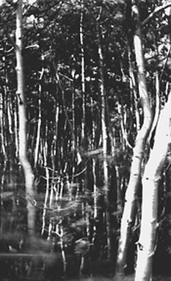 &quot;Aspens north of Mt. Princeton,&quot; by David Sharpe, pinhole silver print.