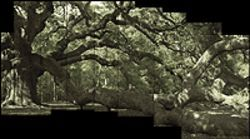 """Angel Oak,"" by James Balog, chromogenic print."