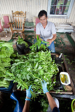 Yin Vuth, who's harvested water spinach in The Village for about thirty years, takes hundreds of pounds of the crop into Houston on Thursdays but says he makes substantially less money today than he did years ago.