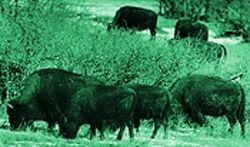 Wild and woolly: The City of Denver's buffalo herd at Daniels Park.